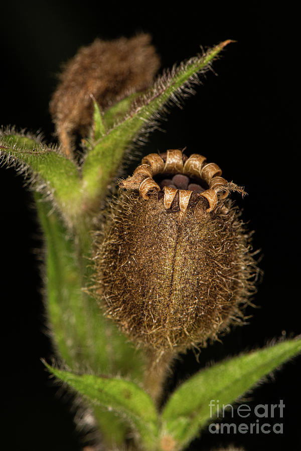 Red Campion Seed Head by Brian Roscorla