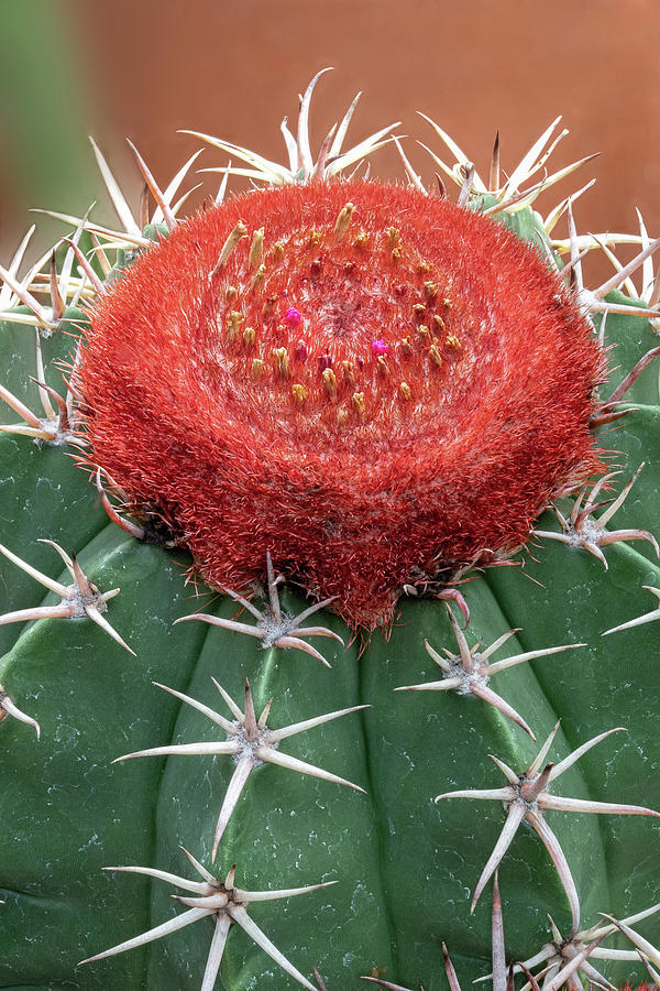 Red Cap Cactus Up Close by Gary Slawsky
