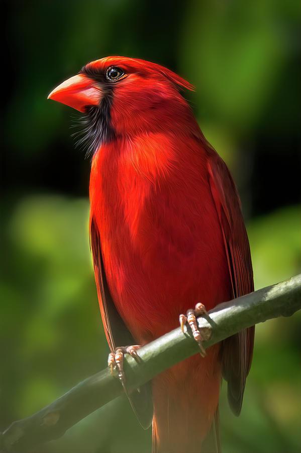 Cardinal Digital Art - Red Cardinal Bird by Kim Seng