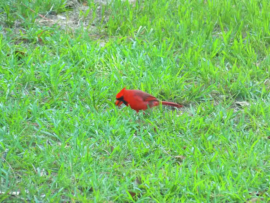 Red Cardinal Visitor From Heaven by Matthew Seufer