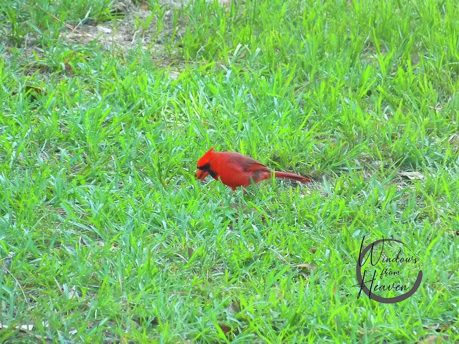 Red Cardinal Visitor  by Matthew Seufer