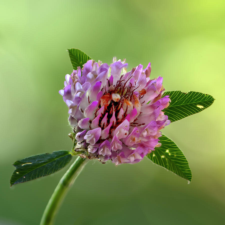 Clover Photograph - Red Clover by Steev Stamford