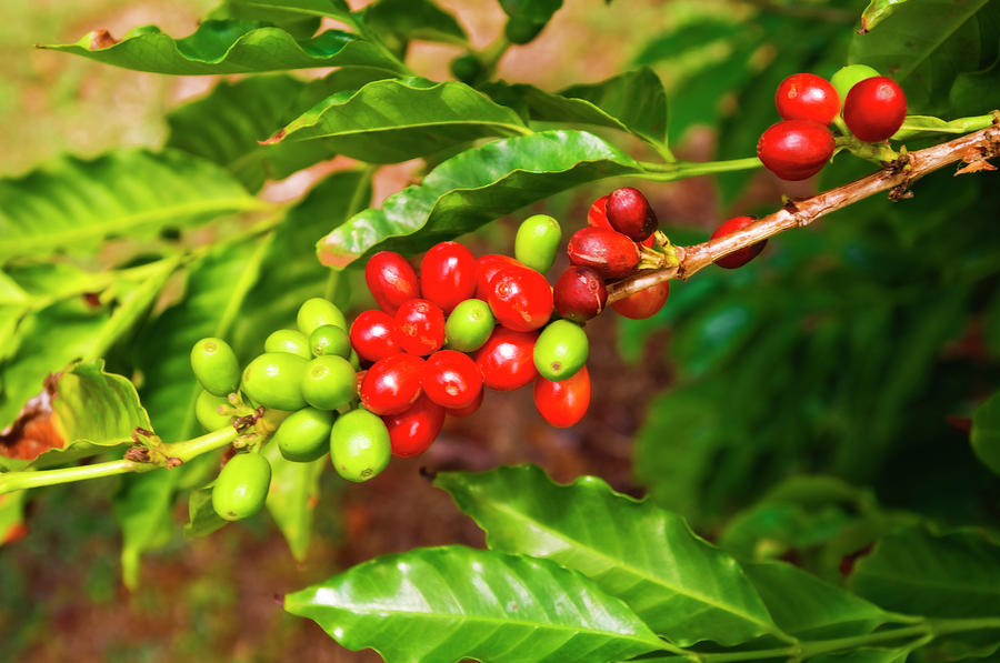 Agriculture Photograph - Red Coffee Cherries On The Vine by Russ Bishop