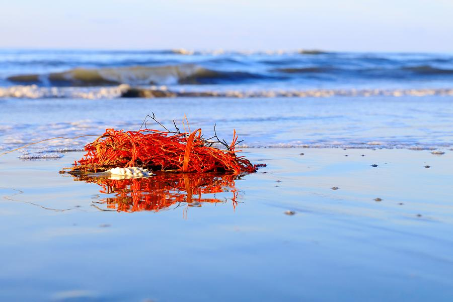 Red Coral Washes Up With the Tide by Carol Montoya