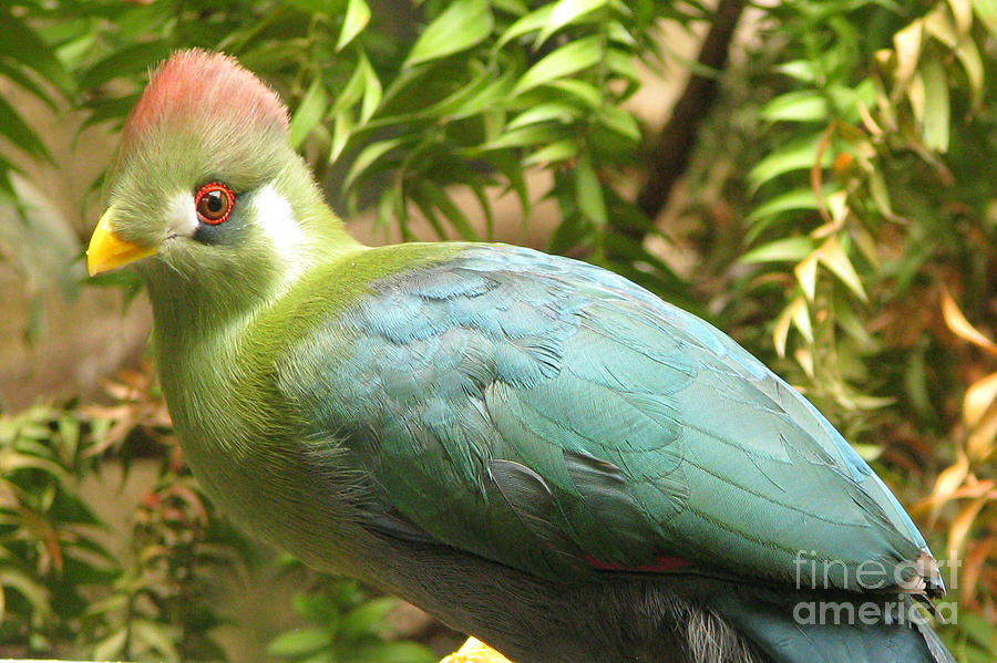Red-crested Turaco by Frank Townsley