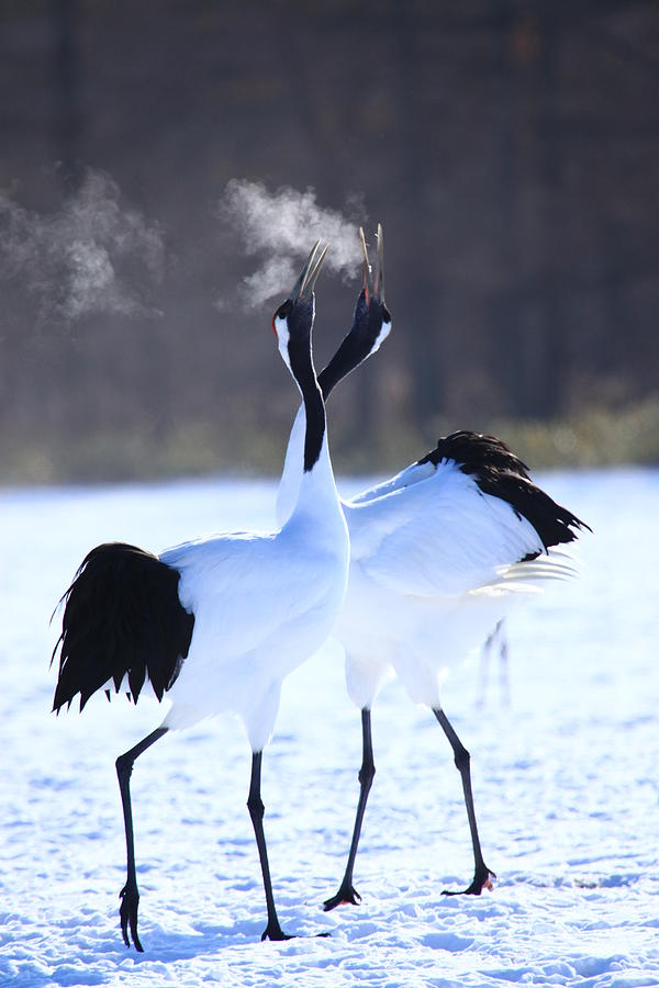 Red-crowned Crane Photograph by Piterpan