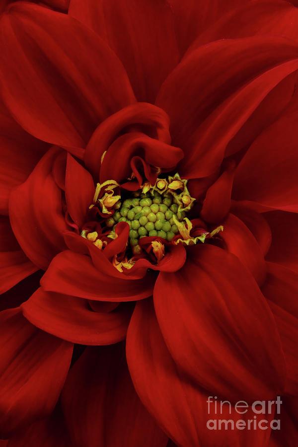 Red Dahlia 2 by Ann Garrett