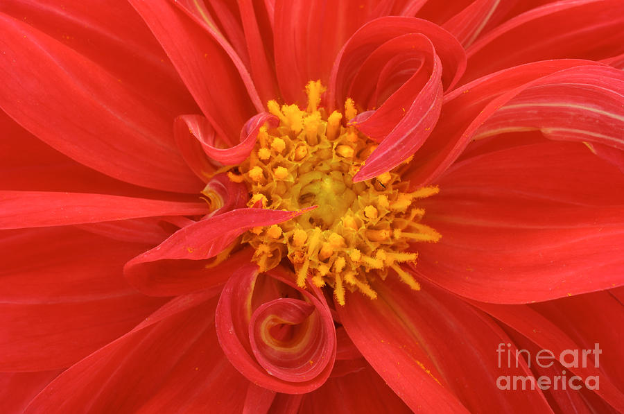 Love Photograph - Red Dahlia Close Up by Imageman