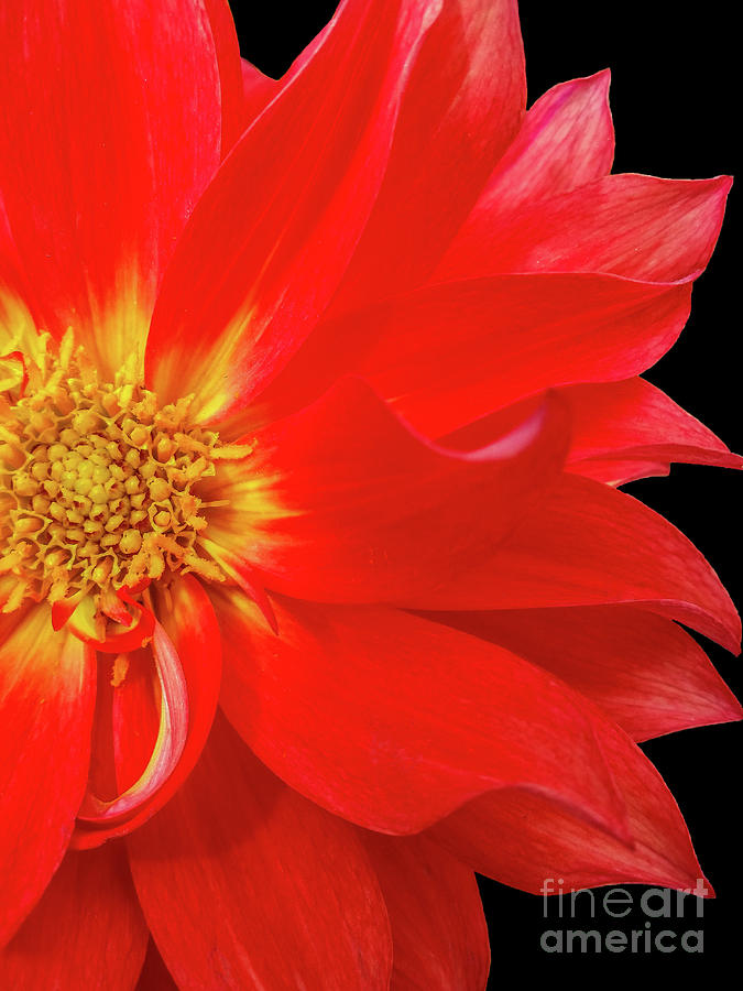 Red Dahlia On Black Background by Tony Baca