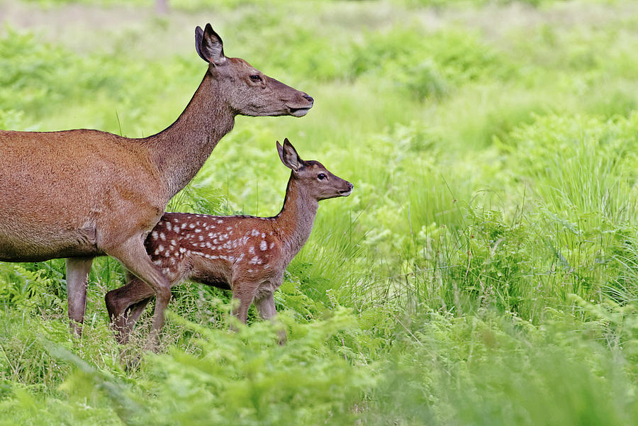 Red Deer Doe And Fawn Photograph by Mcdonald P. Mirabile