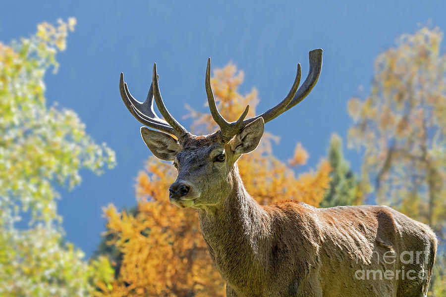 Red Deer in Autumn by Arterra Picture Library