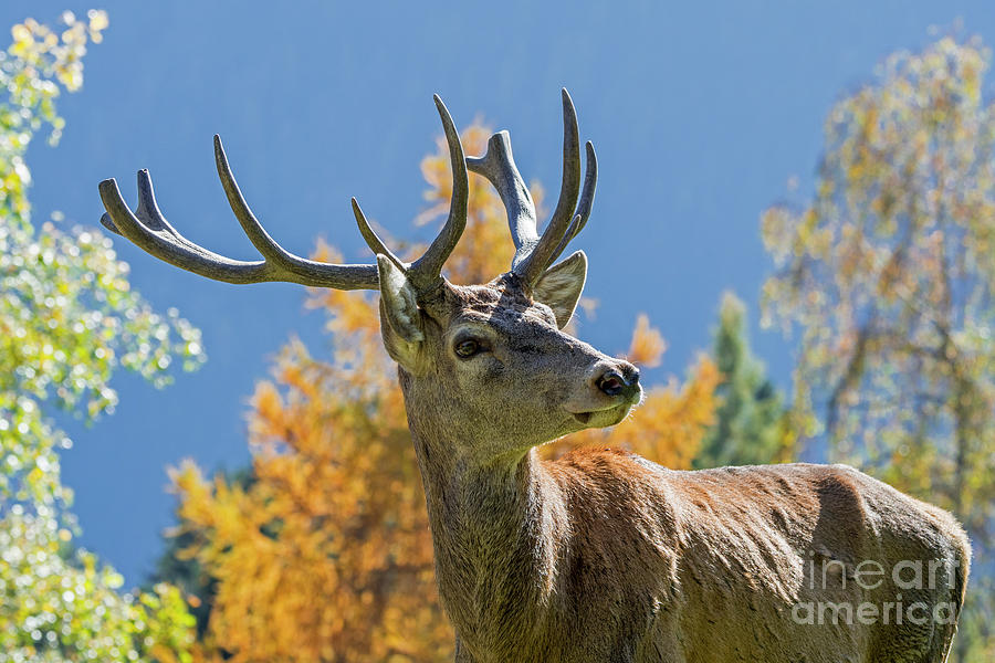 Red Deer in the Fall by Arterra Picture Library