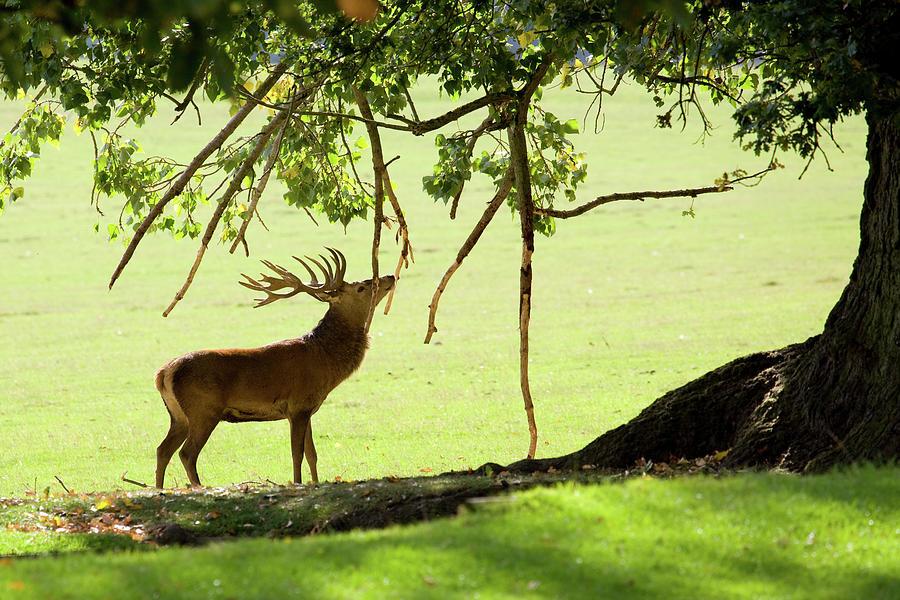 Red Deer Rubbing Antlers Photograph by Rob ellis