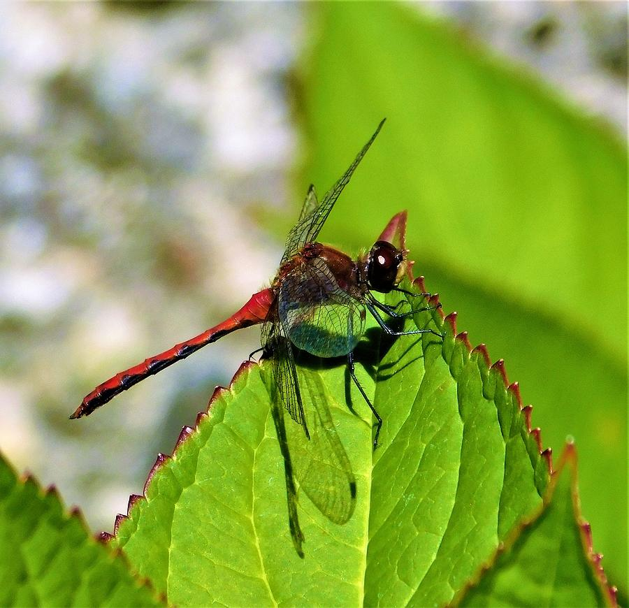- Red Dragonfly by - Theresa Nye