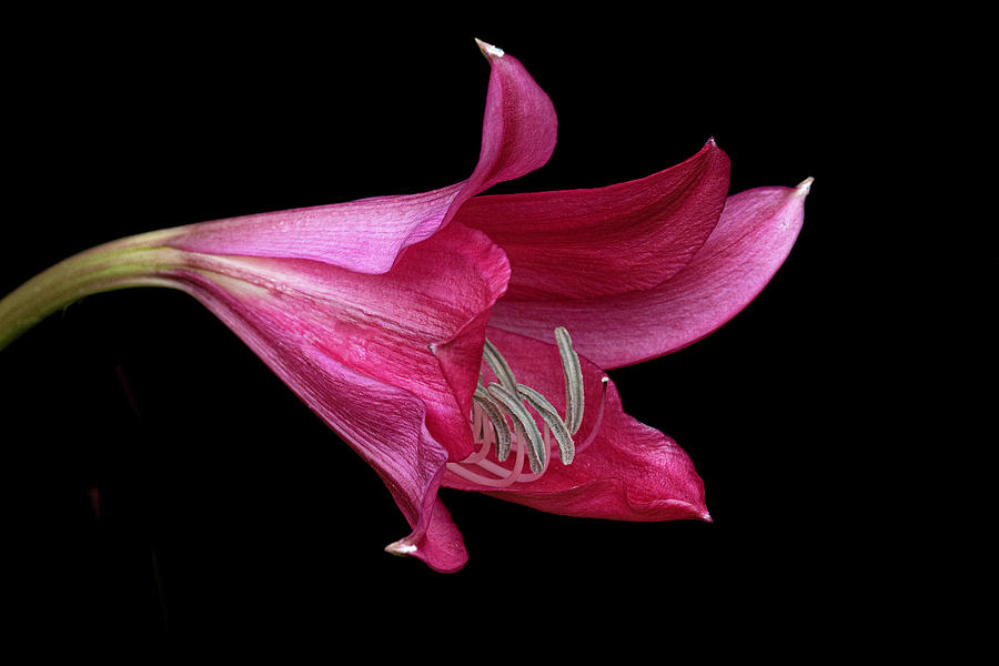 Red Easter Lily by Ken Barrett