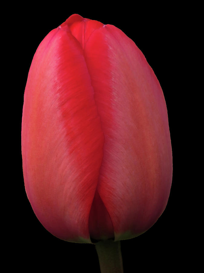 Red Evening Tulip Photograph