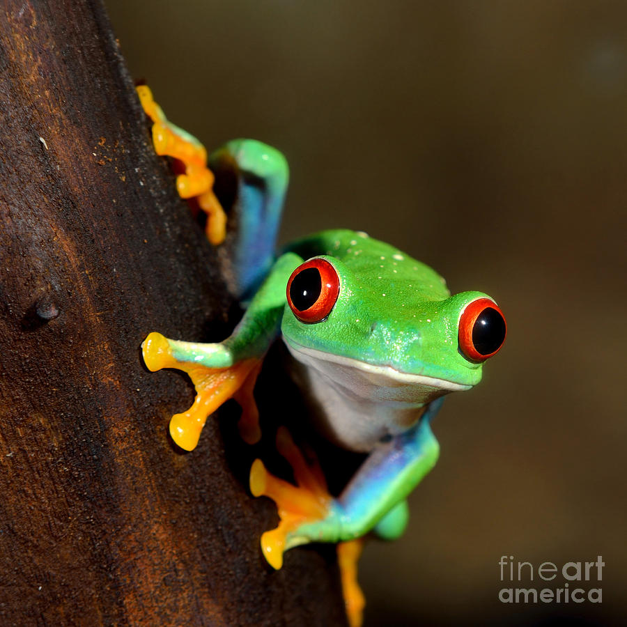 Forest Photograph - Red-eye Frog  Agalychnis Callidryas In by Aleksey Stemmer