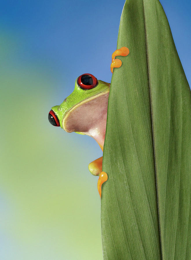 Red Eyed Tre Frog Peeking From Behind A Photograph by Digital Zoo