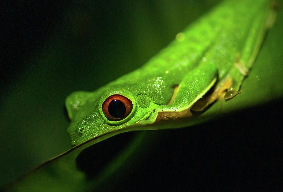 Red-eyed Tree Frog Photograph by By Sathish Jothikumar