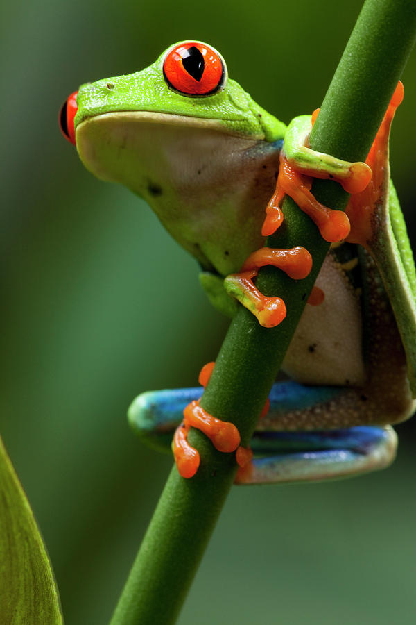 Red-eyed Tree Frog, Costa Rica Photograph by Paul Souders