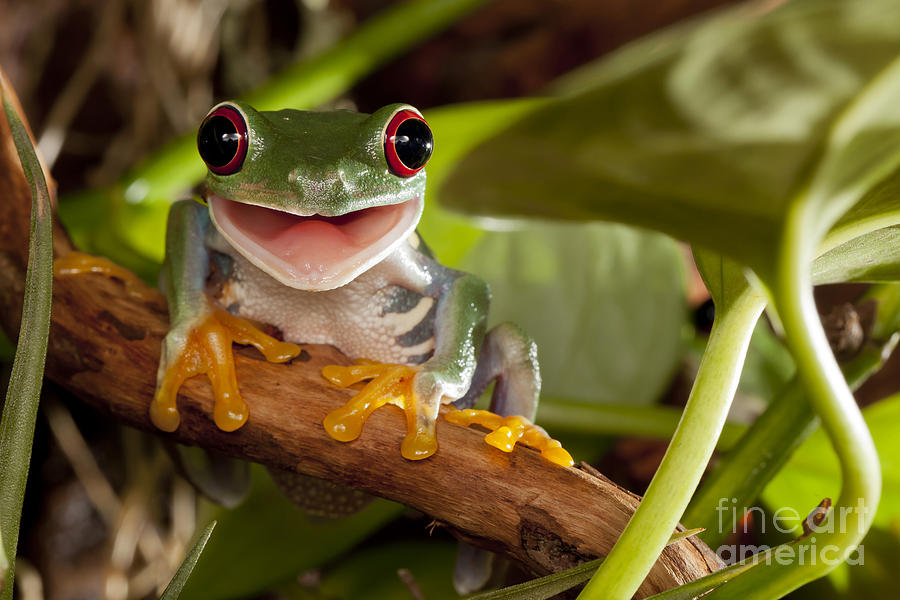 Forest Photograph - Red-eyed Tree Frog Smile by Linas  T