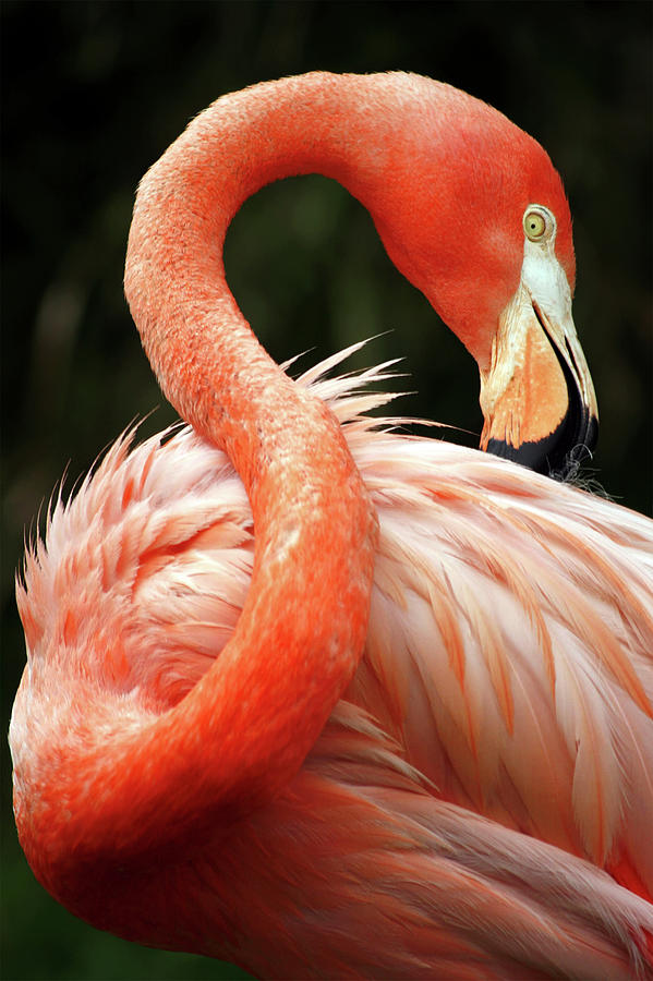 Red Flamingo Photograph by Zulufriend