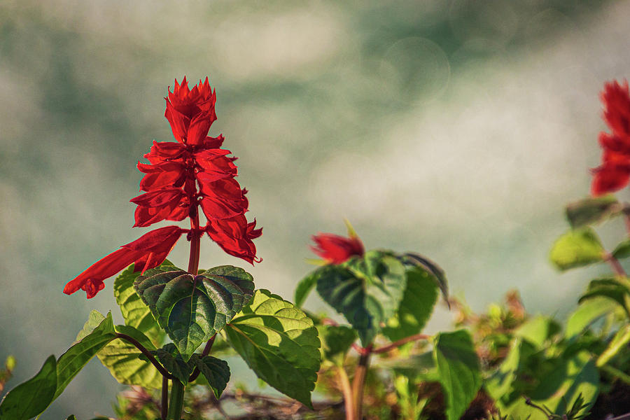 Red Flower by Randy Bayne
