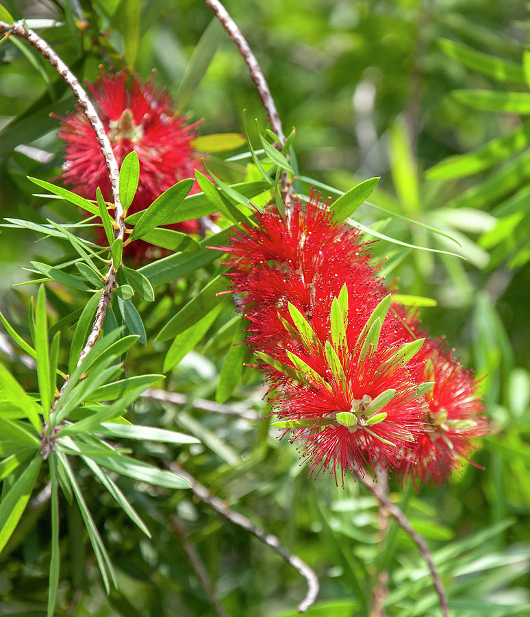 Red flower with wooly appearance by Gene Bollig