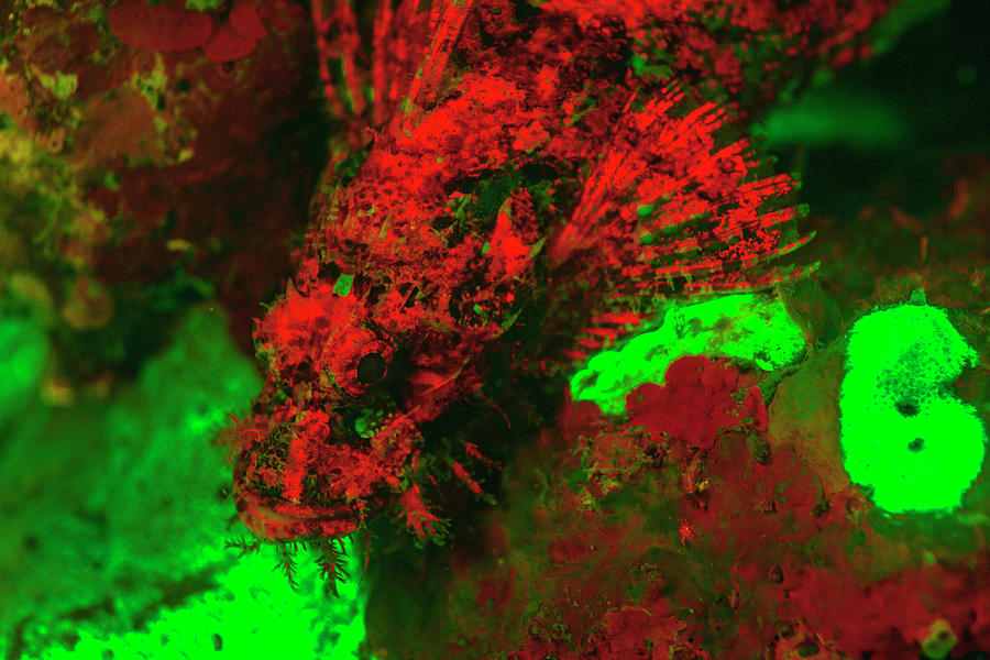 Animal Photograph - Red Fluorescing Scorpionfish Surrounded by Stuart Westmorland