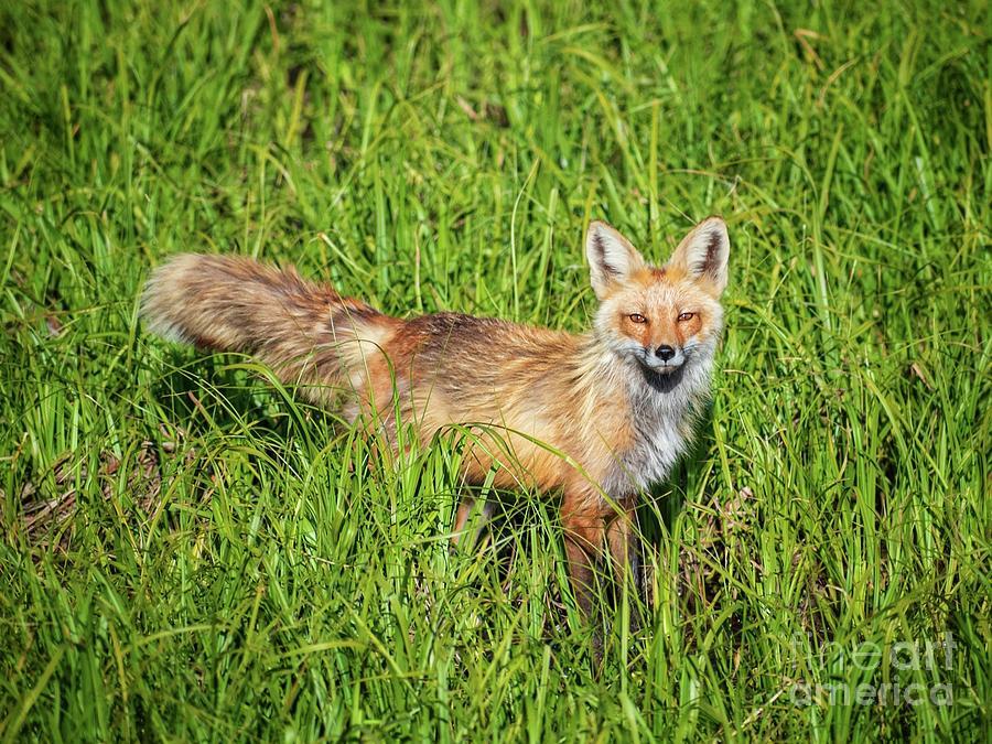 Red Fox Photograph