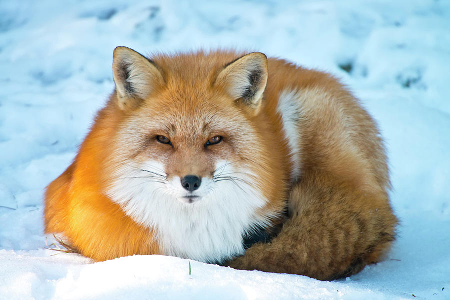 Red Fox Photograph by Copyright Michael Cummings