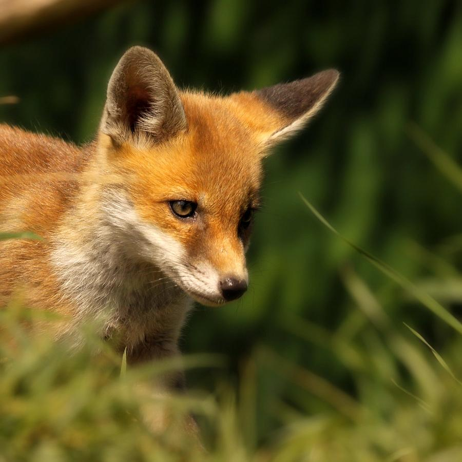 Red Fox Cub In The Grass Photograph by Chris Jolley