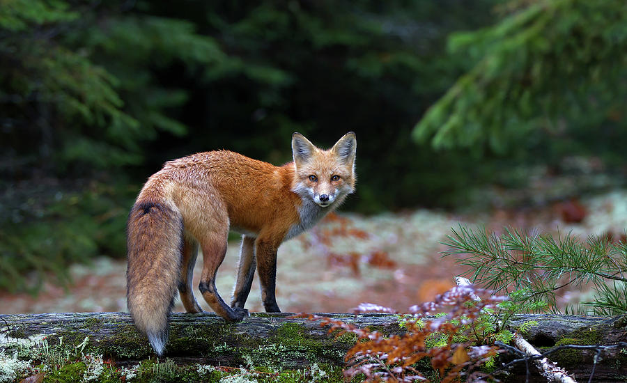 Fox Photograph - Red Fox In Algonquin Park by Jim Cumming