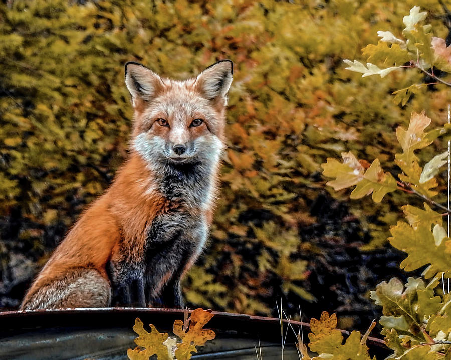 Animals Photograph - Red Fox In Fall Colors by Dawn Key