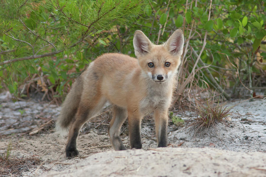Red Fox Kit #2 Photograph