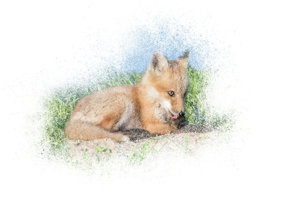 Red Fox Kit #8 - Paw Lick by Patti Deters