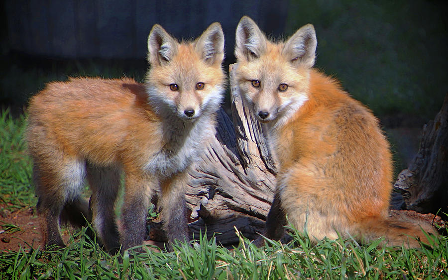 Red Fox Kits by Suzanne Stout