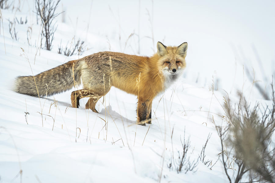 Fox Photograph - Red Fox by Russell Cody
