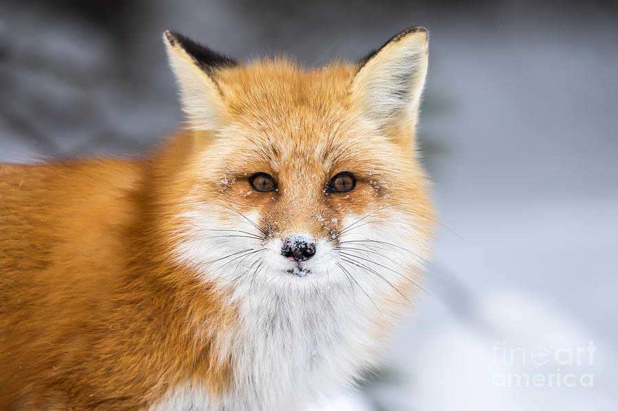 Rufous Photograph - Red Fox, Vulpes Vulpes, In A Snowy by Rt Images