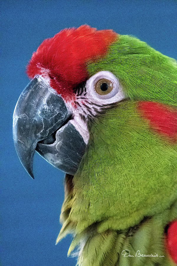 Red-Fronted Macaw 3761 by Dan Beauvais