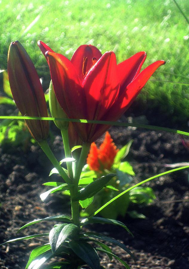 Red Photograph - Red Garden Flowers 2 by Jseda DeWalt