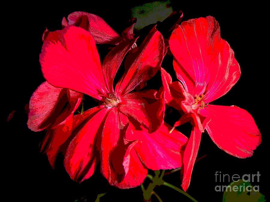 Red Geranium Blossoms by Philip and Robbie Bracco