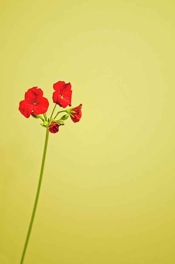 Red Geranium Photograph by Gail Shotlander