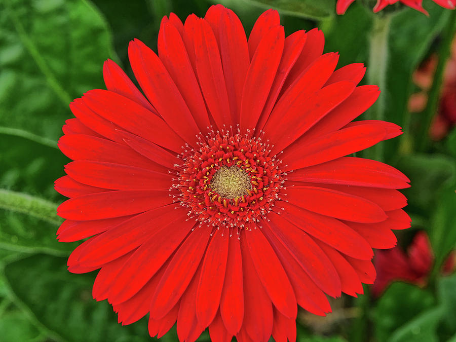 Floral Photograph - Red Gerber Daisy by Allen Beatty