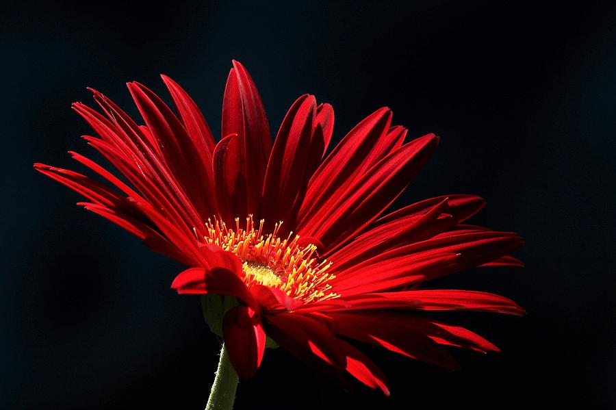 Red Gerber Daisy in Spotlight by Sheila Brown