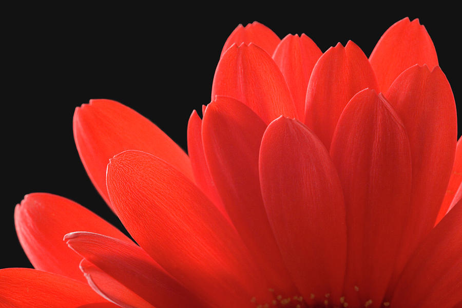 Red Gerbera Daisy Photograph by Paul Taylor