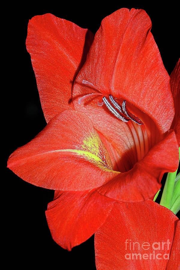 Red Gladioli Macro by Kaye Menner by Kaye Menner
