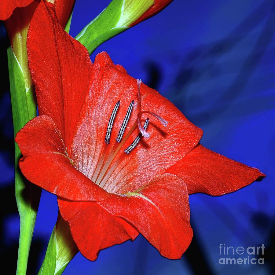 Red Gladioli on Blue by Kaye Menner by Kaye Menner