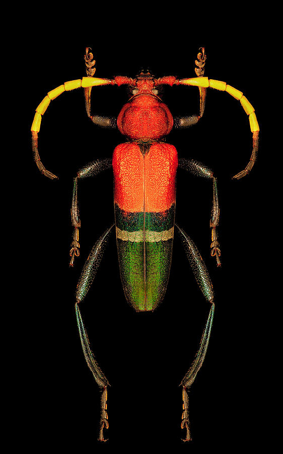 Red, Green and Black Longhorn Beetle by Gary Shepard