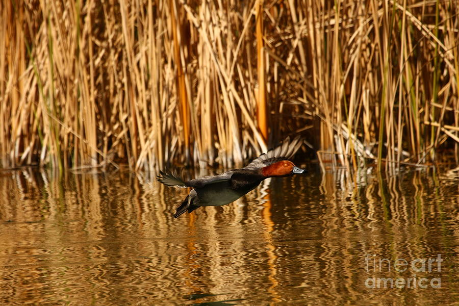 Animals Photograph - Red Head Duck Flying Bye by Michael Vance Pemberton